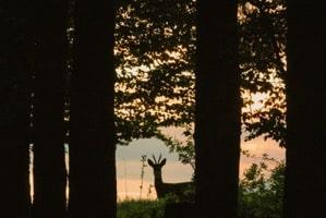 Steinhatchee deer
